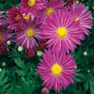 Chrysanthemum Lavender Daisy Morifolium  - Chrysanthemum Mammoth -  std pot